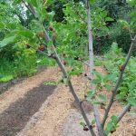 Шелковица в саду