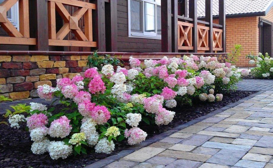 болезнь гортензии садовой