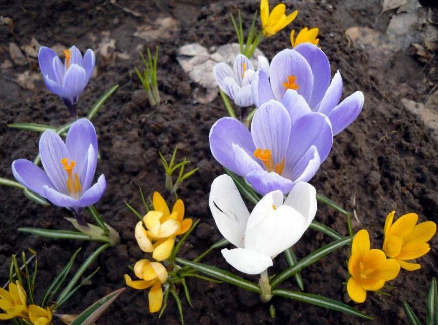 садовые луковичные цветы фото