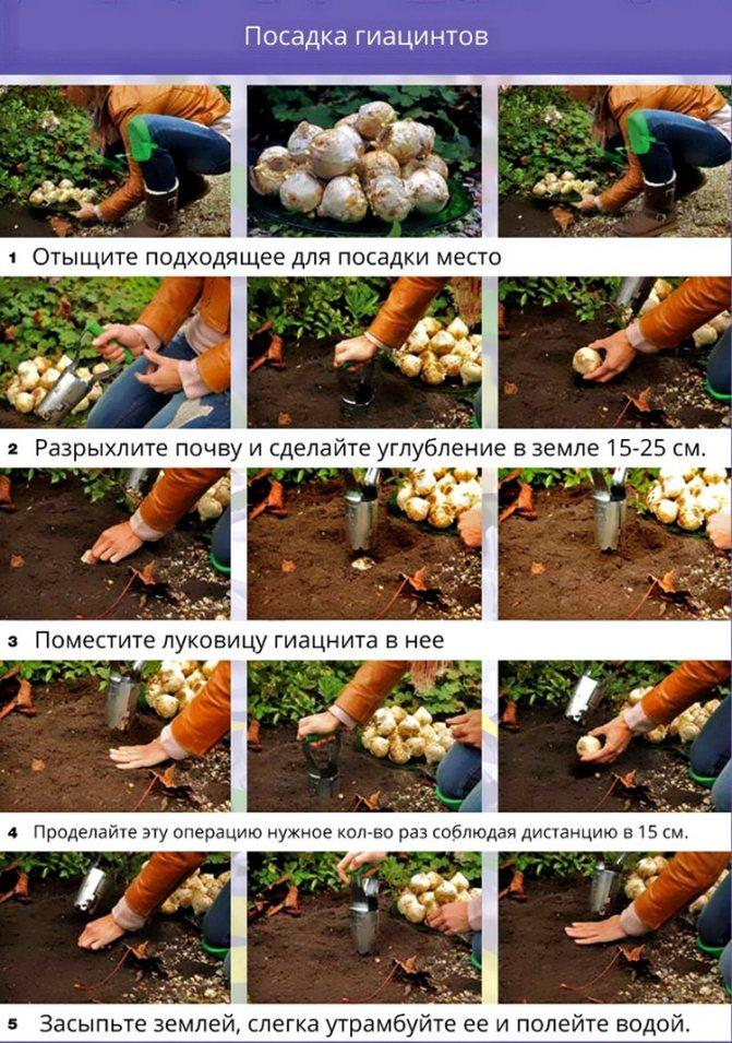 луковичные домашние цветы