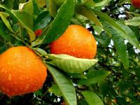 Как вырастить лимонные, апельсиновые и мандариновые деревья (20 фото)