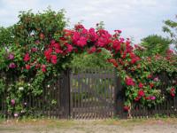 Посадка и уход за садовыми розами — пошаговая инструкция для садовода (30 фото)