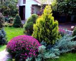 Декоративные хвойные растения для сада
