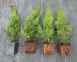 Можжевельник условия выращивания в саду. 90 фото рокария с можжевельником