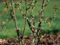 Обрезка роз на зиму: как все сделать без ущерба для растения? (30 фото)