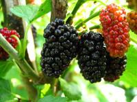 Шелковица – выращивание и уход. Сорта шелковицы 70 фото