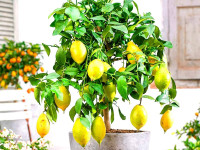 Лимон Лунарио – востребованный сорт цитрусовых