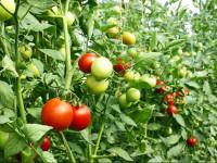 Когда сажать помидоры в 2021 году