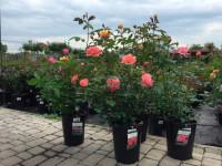 Правила посадки саженцев роз