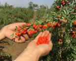 Как вырастить ягоды годжи?