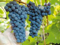 Качественные саженцы винограда по доступным ценам