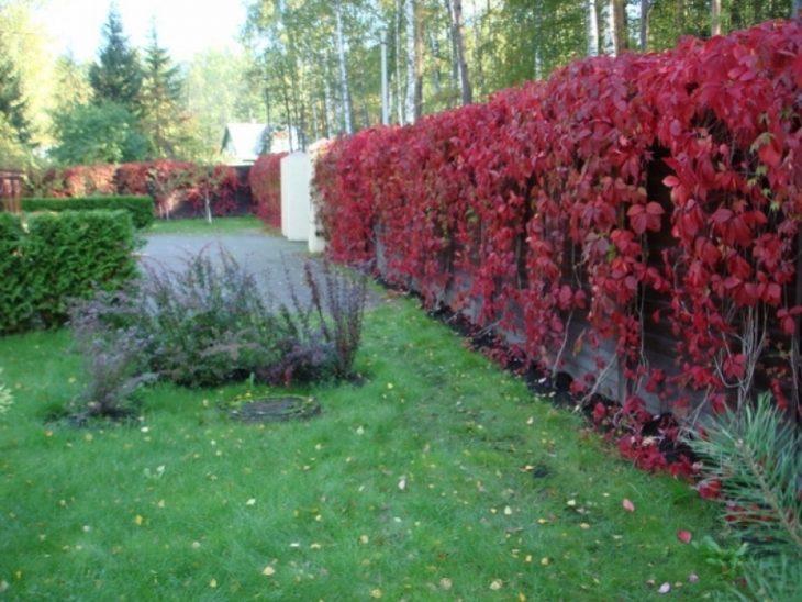многолетние живые изгороди