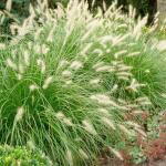 декоративная злаковая трава