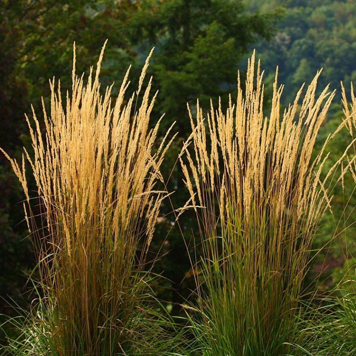 декоративные злаки и травы фото
