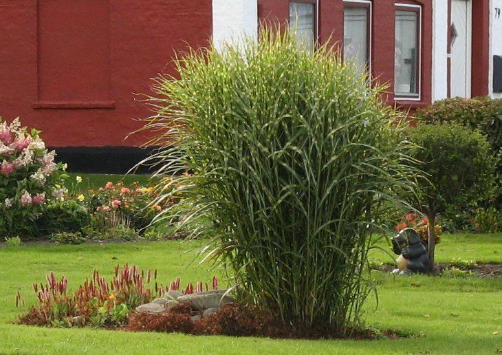 декоративные растения травы