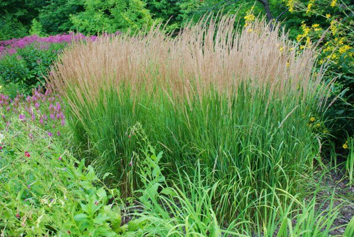 высокая декоративная трава