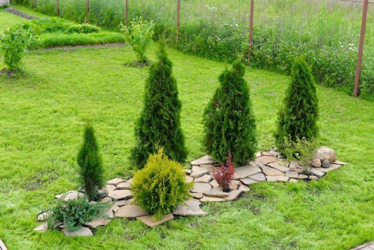выращивание можжевельника на даче